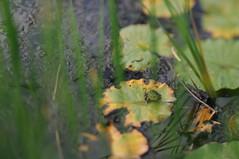 kiss the frog (Frau Koriander) Tags: frog frosch teich pond rosenhöhe rosenhöhedarmstadt darmstadt seerosenblatt seerosen seerosenteich seerosenblätter quak animal tier nikond300s lensbaby lensbabycomposerpro lensbabycomposerproedge80 lensbabyedge80 edge80 80mm tiltshift tilt leaf