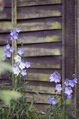 (Girl With Butterfly Wings) Tags: flowers fence garden petals purple lilac white green leaves
