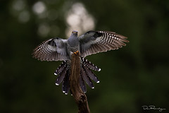 Outstretched (DanRansley) Tags: cuculuscanorus danransleyphotography danransleynet surrey thursleycommon animal bird birding broodparasite conservation cuckoo feathers migration nature ornithology parasite seasons spring summer wildlife