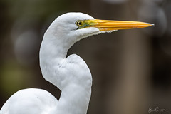 Great White Egret (brunogargaglione) Tags: taubaté brasil brazil farm egret heron garça animals animal birds bird species farmer farmland fish hunter nikon 200500 great white scenic scenics