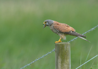 kestrel eating a vole. NWT Cley Marsh
