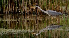 Hunting Grey Heron (neil 36) Tags: grey heron hunting reflection water reeds nature wildlife bird nikon d7200 dearne valley barnsley metropolitan borough council south yorkshire england