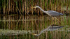 Hunting Grey Heron (neil 36) Tags: grey heron hunting reflection water reeds nature wildlife bird nikon d7200 dearne valley barnsley metropolitan borough council south yorkshire england