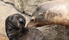 californian sealion Blijdorp JN6A8873 (j.a.kok) Tags: sealion californischezeeleeuw californiansealion zeeleeuw animal mammal zoogdier dier blijdorp motherandchild moederenkind