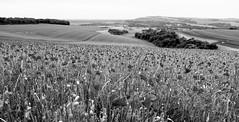 Poppies (Sarah Marston) Tags: poppies buryhill houghton westsussex blackandwhite monochrome bw sony landscape june 2018 rx100m5
