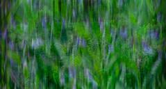 Blue Bells Abstract (Karen McQuilkin) Tags: bluebells