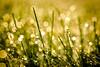 Dewey Sunshiny Morning (Nicholas Erwin) Tags: morning bokeh dew rain waterdrops raindrops macro closeup grass spring depthoffield dof nature naturephotography contrast fujifilmmacro fujifilmxt2 fujixt2 xf60mmf24rmacro xf60 fujixf6024 6024 waterbury vermont vt unitedstatesofamerica usa fav10 fav25 fav50