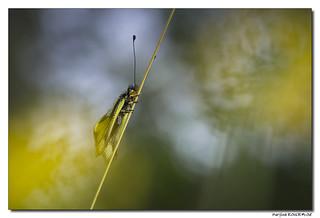 Ascalaphe soufré - Libelloides coccajus