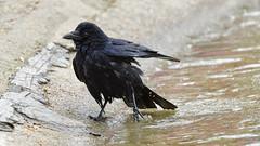 a crow taking a bath (9/9) : after the bath (Franck Zumella) Tags: carrion crow corneille branch branche tree arbre black bird noir oiseau bath bain clean cleaning nettoyer propre