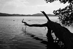 Laacher See (Alex von Sachse) Tags: laarersee vulkansee calderasee caldera vulcano lake eifel vulkaneifel fallen tree monocrome blackandwhite fineart nature landscape