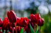 Red Rainy Tulip (149/365) (Walimai.photo) Tags: tulip red rojo tulipán keukenhof holanda netherlands flor flower nikon d7000 nikkor 35mm detail detalle rain lluvia drops gotas