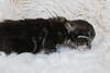 NL* Titran's King Louis male kitten black silver tabby blotched (Titran's Norsk Skogkatt) Tags: nfo titran titrans cat chat chaton kitten wegie norway norge norweger norvégien noor waldkatze boskat