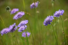 Fleurs des champs (Croc'odile67) Tags: nikon d3300 sigma contemporary 18200dcoshsmc fleurs flowers campagne prairie