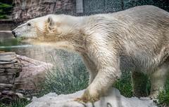 Shake It (helenehoffman) Tags: arctic bear wildlife conservationstatusvulnerable sandiegozoo mammal fish ursusmaritimus ursidae tatqiq polarbear polarbearplunge marinemammal animal alittlebeauty specanimal saariysqualitypictures coth coth5