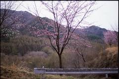 (✞bens▲n) Tags: pentax mzs provia 100f fa 43mm f19 limited film analogue slide japan nagano tree sakura cherry blossoms