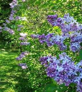Lilacs  Syringa vulgaris