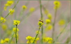 Wildflower Honey In Progress (tdlucas5000) Tags: bee honeybee flower flowers wildflowers mustard closeup bokeh creamybokeh d850 sigma120400 california spring