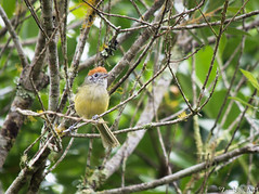 Hylophilus poicilotis (azambolli) Tags: brasil animal bird ave nature natureza hylophilus verdinho vireo greenlet