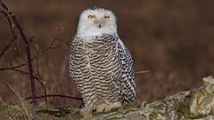 Great White Owl (photosauraus rex) Tags: snowy owl snowyowl greatowl