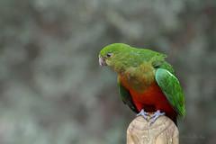Australian king parrot (Michelle w.h. Xu) Tags: australian king parrot australia birds green red animal