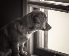 Waiting for my boy... (Southern Darlin') Tags: puppy pup pupper pups dog animal animals domestic window light shadow bw blackandwhite bnw toned sepia canon photography photo pet pets