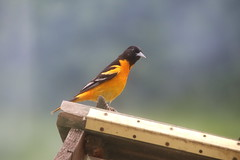 356/365/3643 (June 2, 2018) - I am sure I have been 'catfished' - Orioles and House Finches - June 2nd and 3rd, 2018 (Saline Michigan) (cseeman) Tags: birds saline michigan orioles feeder oriolefeeder orange orioles062018 jelly orioleslovejelly oranges finches housefinches birdcatfishing catfishing062018 catfishing 2018project365coreys yeartenproject365coreys project365 p365cs062018 356project2018