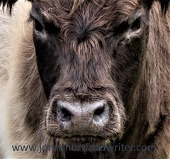 """He Who Blinks First..."" (john shortland) Tags: beltedgalloway cow heifer cattle nose fur hair eyes farming bovine animal"