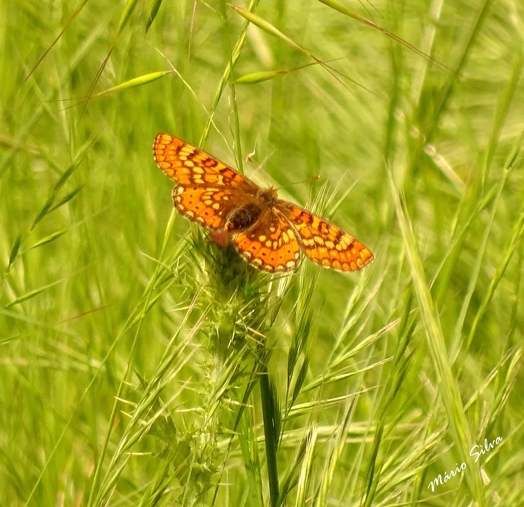 Águas Frias (Chaves) - ... borboleta entre a verdejante erva ...