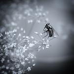 Little Fly Visiting Umbellifer thumbnail