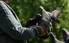 In a flap (PChamaeleoMH) Tags: birds centrallondon london pigeons stjamesspark