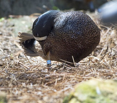 Akron Zoo 06-06-2014 - Ohio Bird 18 (David441491) Tags: bluewingedteal bird avian akronzoo