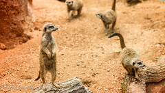 Checking (frederic.gombert) Tags: houston zoo animal wild look color sand eyes brown meerkat