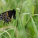 Black Swallowtail, Papilio polyxenes asterius Stoll, 1782