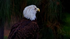 The Eagle Has Landed (Christina's World-) Tags: eagle bird nature texture brown california dark feathers green fields woods head birdofprey beak white exotic exoticbird sandiego scenic unitedstates usa coth5