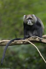 CA3I8555-Blue Monkey (tfells) Tags: bluemonkey primate mammal nature wildlife africa tanzania