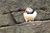 3G4A8974 (Bill16STN) Tags: northumberland farneislands seahouses bamburgh bamburghcastle shag guillemot puffin seal