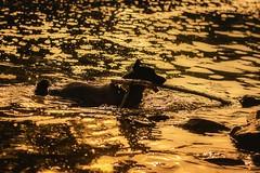 Bathed in Light (marionrosengarten) Tags: dog water swim bath golden light stick rhine hund wasser schwimmen baden goldeneslicht gold happyness storytelling glück haustier pet nikon nikon50mmf18 drops tropfen backlight gegenlicht waves wellen rhein fluss river