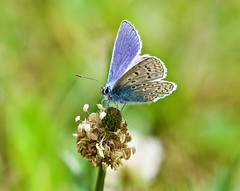 Common Blue Butterfly (1 of 2) - Taken at Sywell Country Park, Sywell, Northamptonshire. UK. (Ian J Hicks) Tags: orb