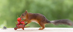 red squirrel and a wheelbarrow with Strawberries (Geert Weggen) Tags: bicycle cycling squirrel animalwildlife animalsinthewild autumn day dinner eating eurasianredsquirrel food foodanddrink fruit grass healthylifestyle horizontal meal metal nopeople old outdoors photography picnic smelling strawberry summer sweden tasting transportation wheel woodland working vehicle travel fast speed wheelbarrow seat work job footer bispgården jämtland geert weggen ragunda hardeko