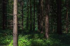 Light & Shadow (phlpp.hrm) Tags: bäume trees wald forest woods light licht shadow schatten sun sonne outdoor nature natur süntel deutschland germany