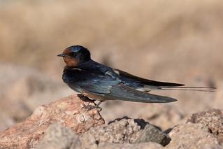 Barn swallow (Hirundo rustica) Boerenzwaluw