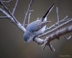 Blue-gray Gnatcatcher (bbatley) Tags: bird wildlife tree gnatcatcher