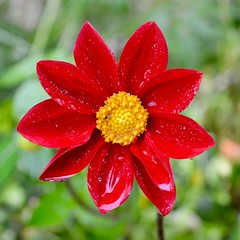 Monet's Dahlia (davellani) Tags: vibrant colourful bright macro plant rain droplets france square garden monet dahlia yellow red nature flower waac