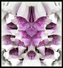 Foxglove Fantasy (ronramstew) Tags: foxglove fantasy garden design mauve selectivecolour platinumheartaward