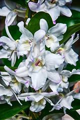 Blossom -41- (Jan 1147) Tags: orchidee orchid blossom bloei bloem bloemen flower flowers natuur nature wit white belgium