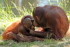 orangutan Baju and Kawan Apenheul BB2A9148 (j.a.kok) Tags: orang orangutan orangoetan ape apenheul aap animal mammal monkey mensaap primate primaat zoogdier dier baju kawan asia azie