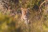 Leopard (Niklas H. Braun) Tags: south africa landscape safari animal wildlife leopard zebra impala nature beautiful teamcanon namibia 70300 l