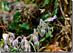 A BEE LANDING ON A BORAGE FLOWER (jawadn_99) Tags: bees flowers fly fona flora yellow wild life bee beast garden hony cultural elkton interrestingness elketon butterfly pavelion center explore