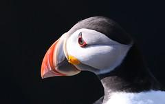 Puffin 230518 (18) (Richard Collier - Wildlife and Travel Photography) Tags: birds british britishbirds wildlife naturalhistory puffin skomerisland wales onblack ngc
