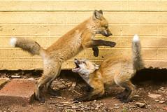 IMGL1420 Pugwash Red Fox Kit(s) (Wallace River) Tags: foxes novascotia pugwashfoxes redfoxes